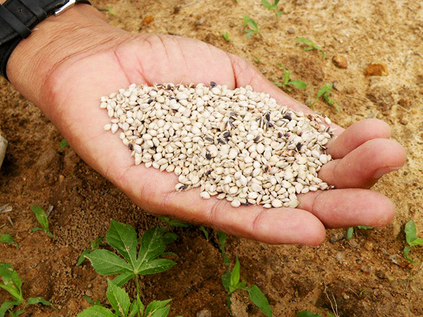 Beneficios do sorgo